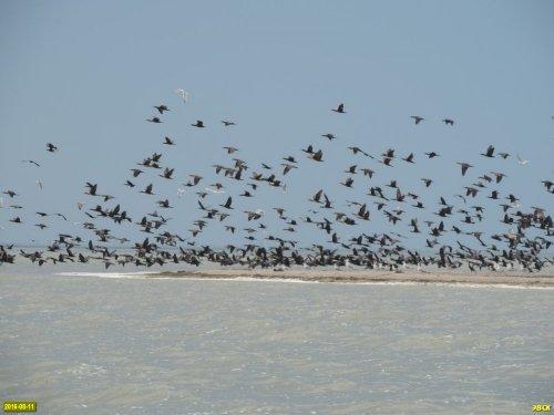 Колония кудрявых пеликанов в Бейсугском лимане